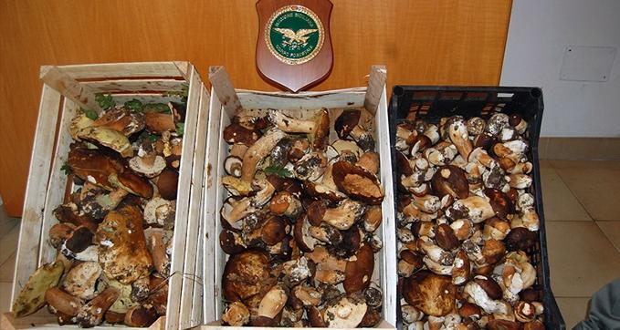 Nebrodi/ Confiscati ingenti quantitativi di funghi