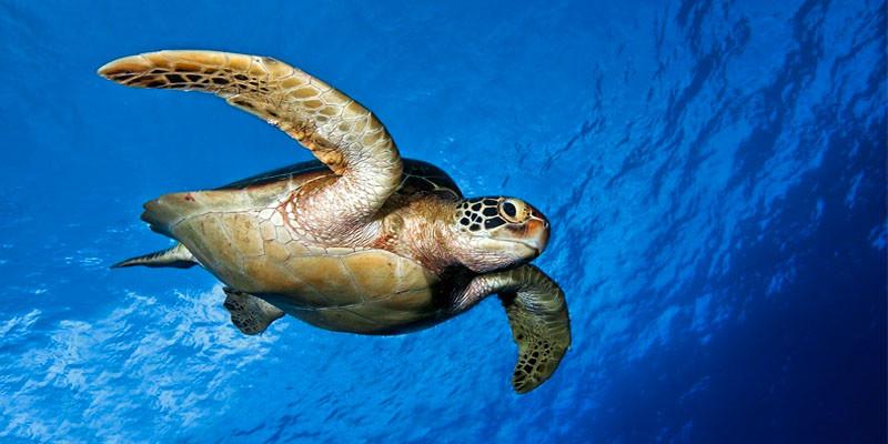 50 mila tartarughe marine vittime delle battute di pesca