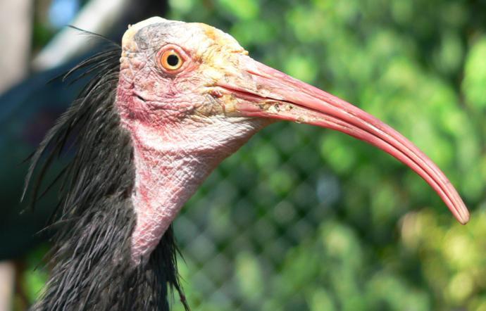 Ibis eremita avvistato ad Alicudi