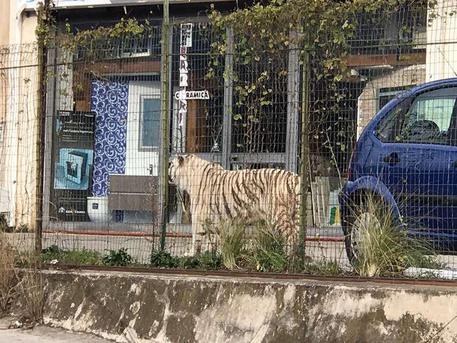 Catturata la tigre fuggita dal circo