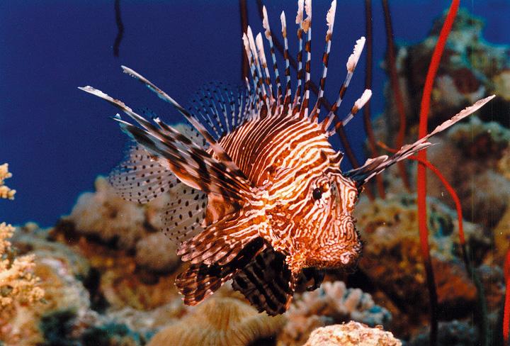 In Sicilia allarme pesce scorpione  A rischio anche i pescatori