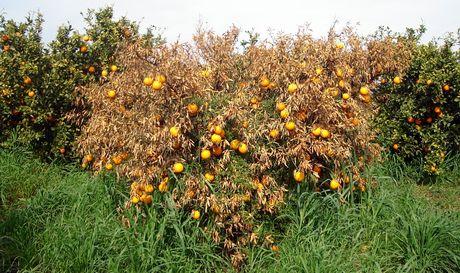 Sicilia/ oltre 25.000 ettari di agrumeti sono stati colpiti dal virus tristeza