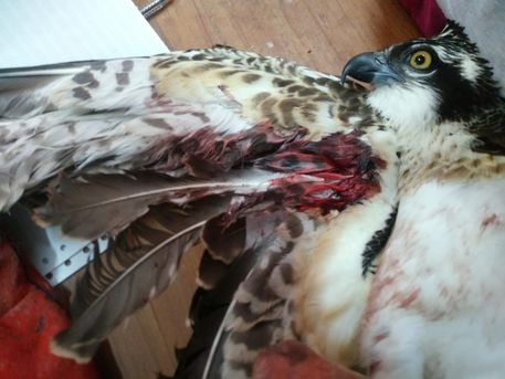 Caccia: falco ferito nel Messinese