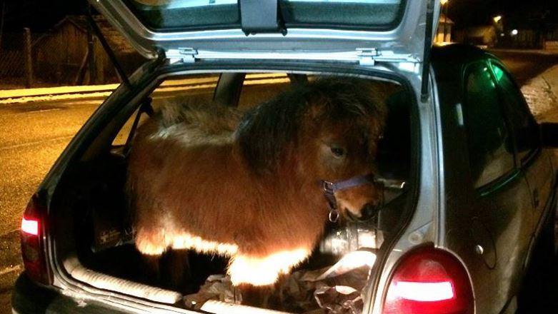 Coronavirus: aveva pony in auto, multato nel Nisseno