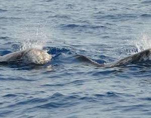 Ambiente: delfini di Risso avvistati in mare delle Eolie