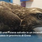 GIOVANE POIANA SALVATA DALLE FIAMME DAI VIGILI DEL FUOCO A DITTAINO (EN), SOCCORSA DALLE GUARDIE WWF
