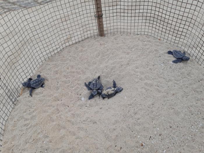Nate tartarughe caretta caretta a Lampedusa